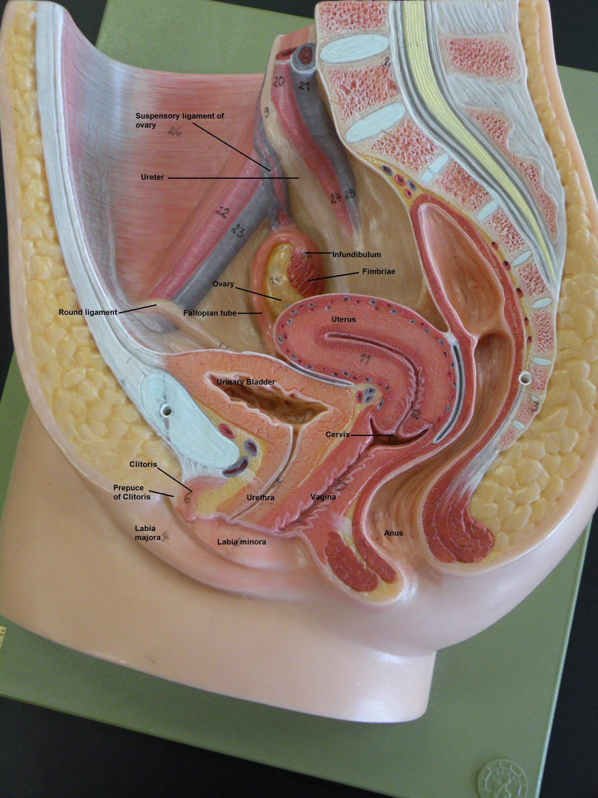 My Homeworks Photos Male And Female Reproductive System-5378