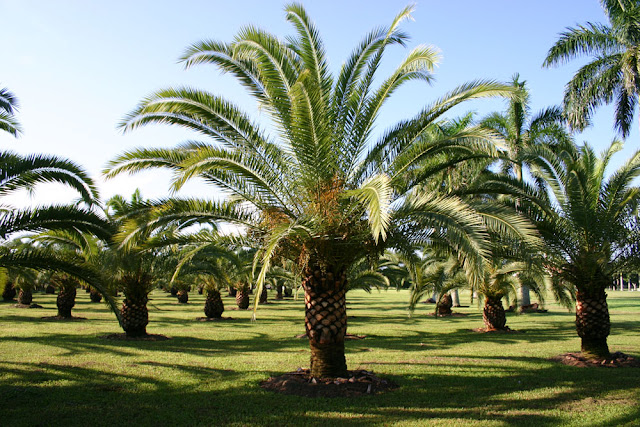 How to grow phoenix canariensis