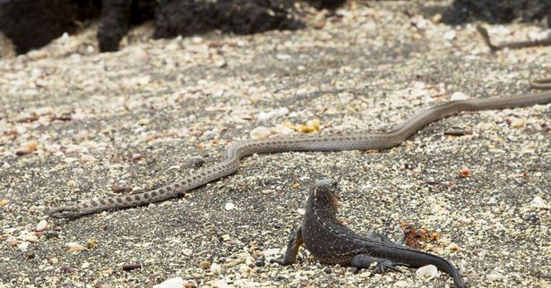 Amazing & EPIC Escape of Sea Iguana from Deadly Snakes