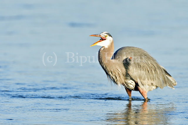 Great Blue Heron Fishing -  Final Gobbled Up