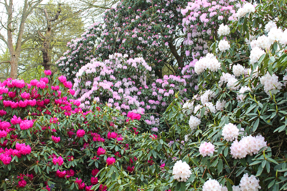 Rhododendron at Kew Gardens in Spring - London lifestyle blog