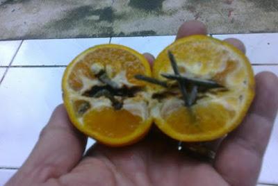 Paku di dalam ranjau jeruk. Foto : Kompasiana. .http://www.kompasiana.com/bamset2014/awas-ranjau-jeruk-mengintai-pengguna-jalan_568b98d3727e61ef07b57637