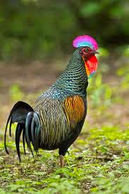 gambar Ayam Hutan Hijau jantan (Gallus-gallus)