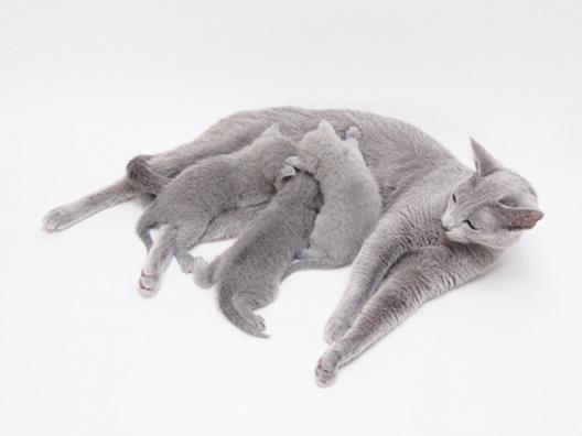 Czy kocięta rywalizują o sutki?
