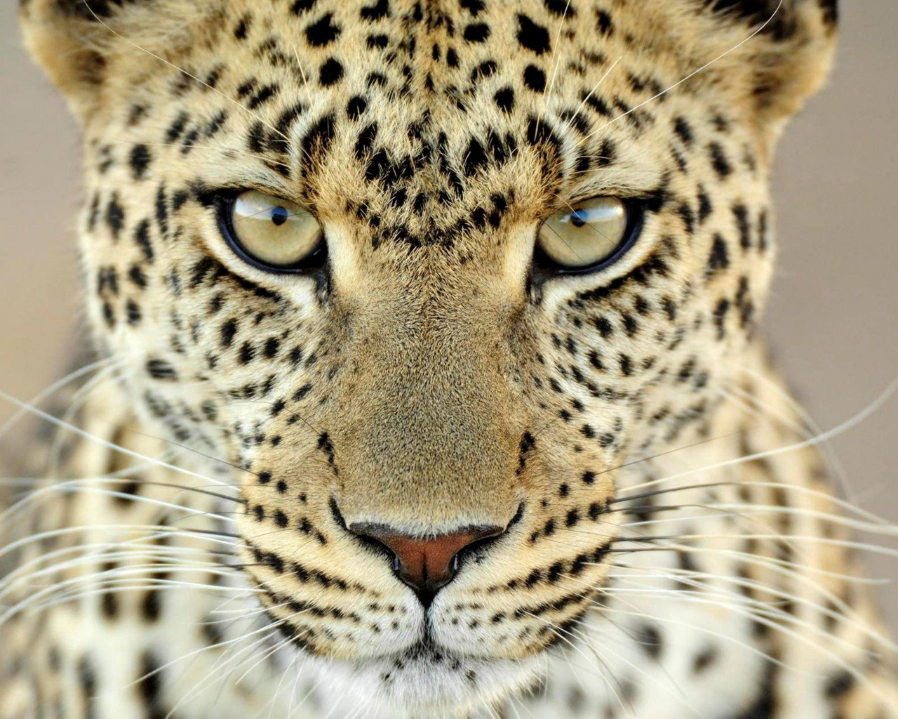 wild animals wallpapers desktop animal quality latest background leopard crazy wildlife cheetah nature cool beast wall leopardo colors cute peaceful
