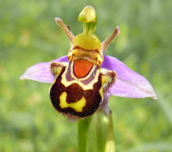 Laughing Bumble Bee Orchid (Ophrys bomybliflora) - 17 Flowers That Look Like Something Else