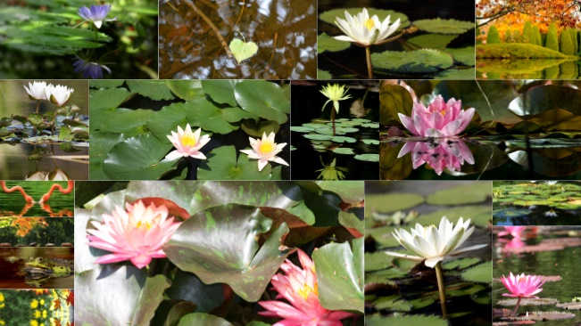 تحميل 16 صورة لزهرة زنبق الماء جودة عالية