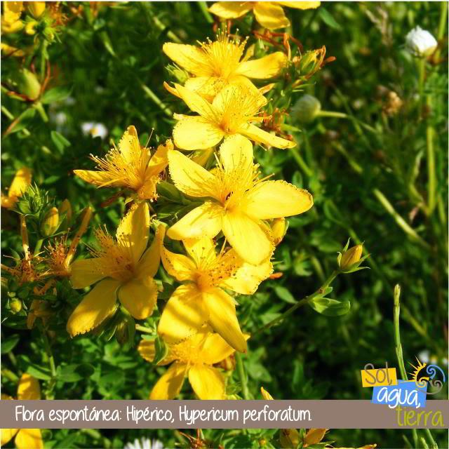 Hipérico o hierba de San Juan. Flora espontánea de Asturias