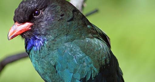 "Penamaan burung cekakak yang mengandung unsur kata ""udang"" tidak lain. Memelihara Burung Tengkek Buto   Drh. Fira Sovica"