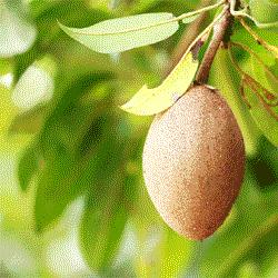 manfaat-kulit-sawo-untu-kesehatan-tantirasmawati