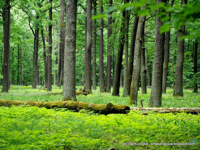 las, stary las, puszcza mazowiecka, deby, wycieczka do lasu, marysin wawerski, zielony las, pod ochrona, obszar chroniony