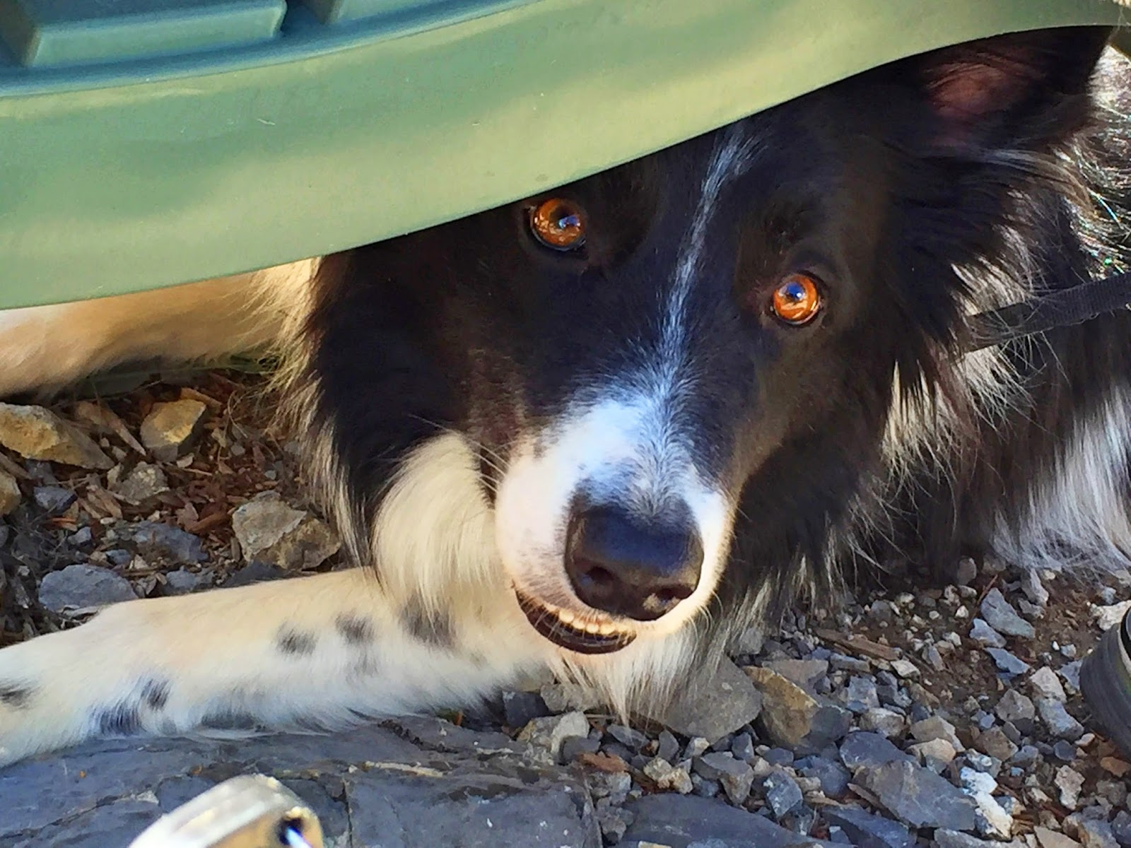 This beautiful Border Collie was rescued from a sad past. He is so much happier now!