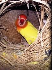 lovebird betina bertelur, lovebird bertelur, lovebird betina