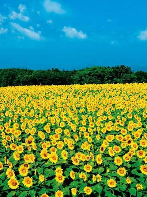 Akeno Sunflower Festival, Hokuto City, Yamanashi Pref.
