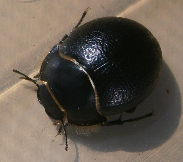 E.muricatus%25238.JPG