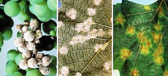 الفطريات والأمراض التي تصيب النبات