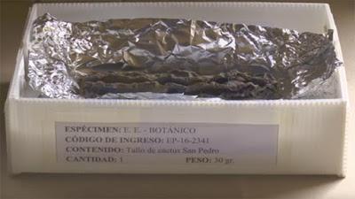 cactus alucinógeno de Perù