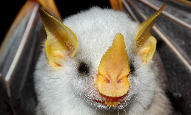 Honduran white bat hewan kelelawar dengan wajah mirip babi