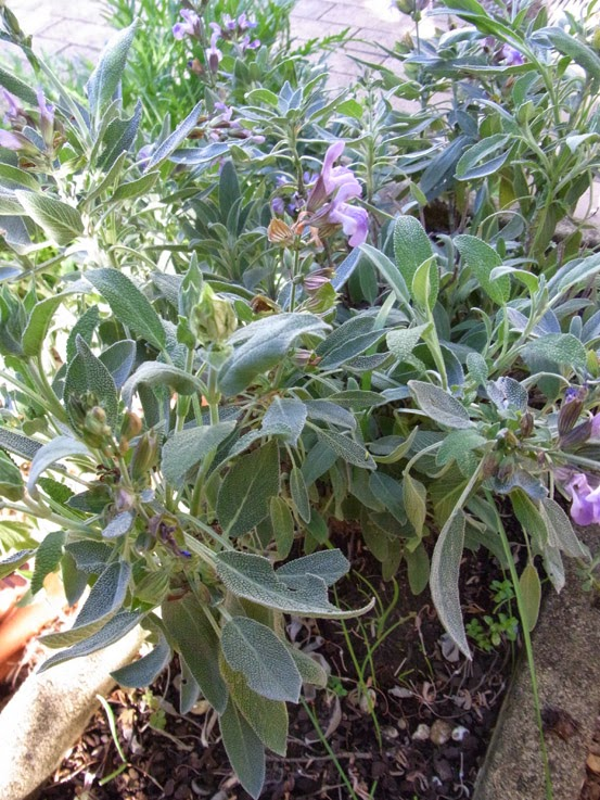 Garden amateur Sage advice