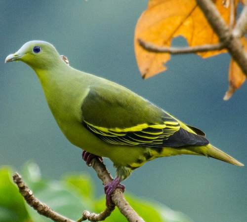 Greyfronted green pigeon images  Birds of India  Bird World