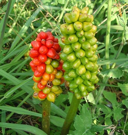 Fruto del aro (Arum italicum)