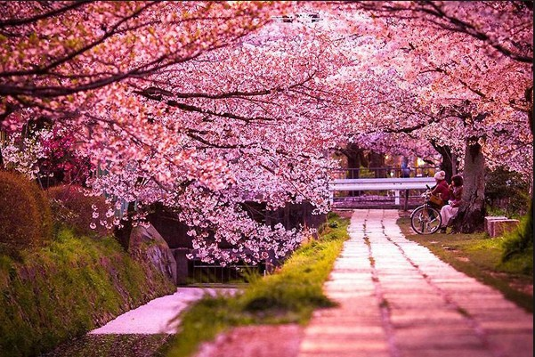 83 Gambar Taman Bunga Sakura Paling Bagus