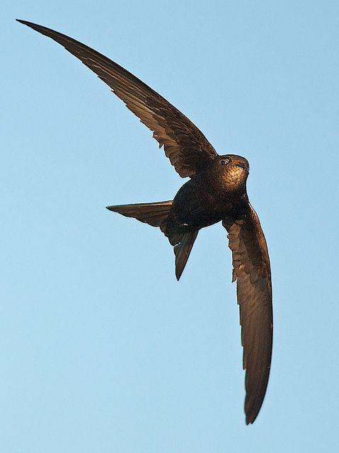 Pássaro consegue ficar 10 meses voando sem pousar