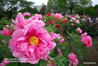 ピンクのボタンと背景の花々の写真