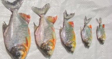 Cara Pembenihan Budidaya Ikan Bawal Alam Ikan