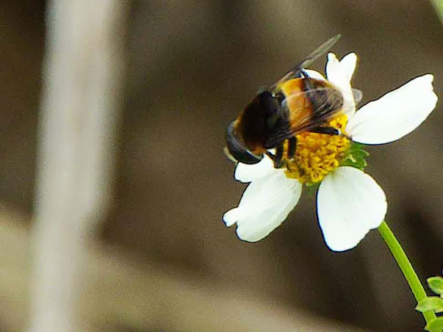 insect, flower, fly, bee