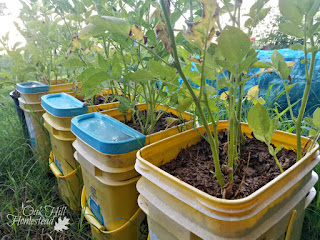 No space? No problem! You can grow potatoes in buckets!