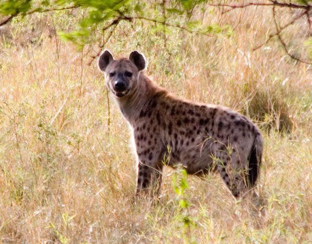 Hyena animal facts