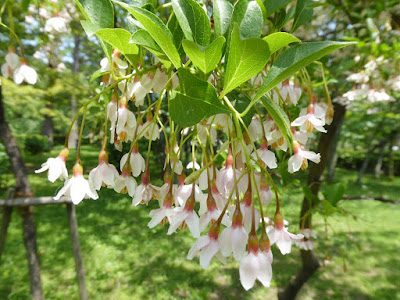 京都御苑 エゴノキの花