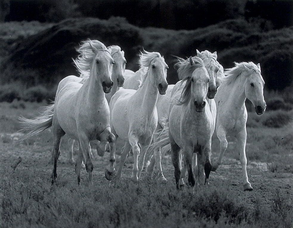 White Wild Horses Awsome Hd Wallpapers Beautiful Wild Pets Animals