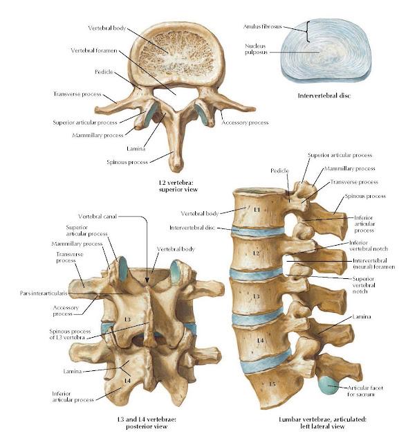 Lumbar Vertebrae Anatomy Vertebral body, Vertebral foramen, Pedicle, Transverse process, Superior articular process, Mammillary process, Lamina, Spinous process, Vertebral canal, Mammillary process, Vertebral body, Intervertebral disc, Vertebral body, Pedicle, Superior articular process, Mammillary process, Transverse process, Spinous process, Lamina, Anulus fibrosus, Accessory process, Intervertebral disc, Nucleus, pulposus, Superior articular process, Transverse process, Inferior vertebral notch, Intervertebral (neural) foramen, Accessory process, Spinous process of L3 vertebra, Articular facet, Inferior for sacrum articular process L2 vertebra: superior view, L3 and L4 vertebrae: posterior view, Lumbar vertebrae, articulated: left lateral view, Superior vertebral notch, Inferior articular process, L1, L2, L3, L4, L5, Lamina, Pars interarticularis.