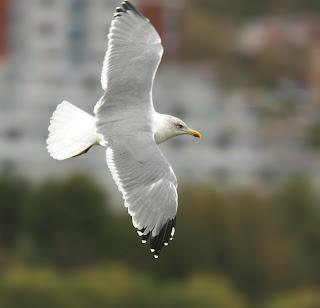 yellow-legged Gull in flight in St.John's