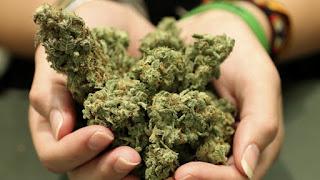 Maconha e legalização: antes de falar asneiras, se informe