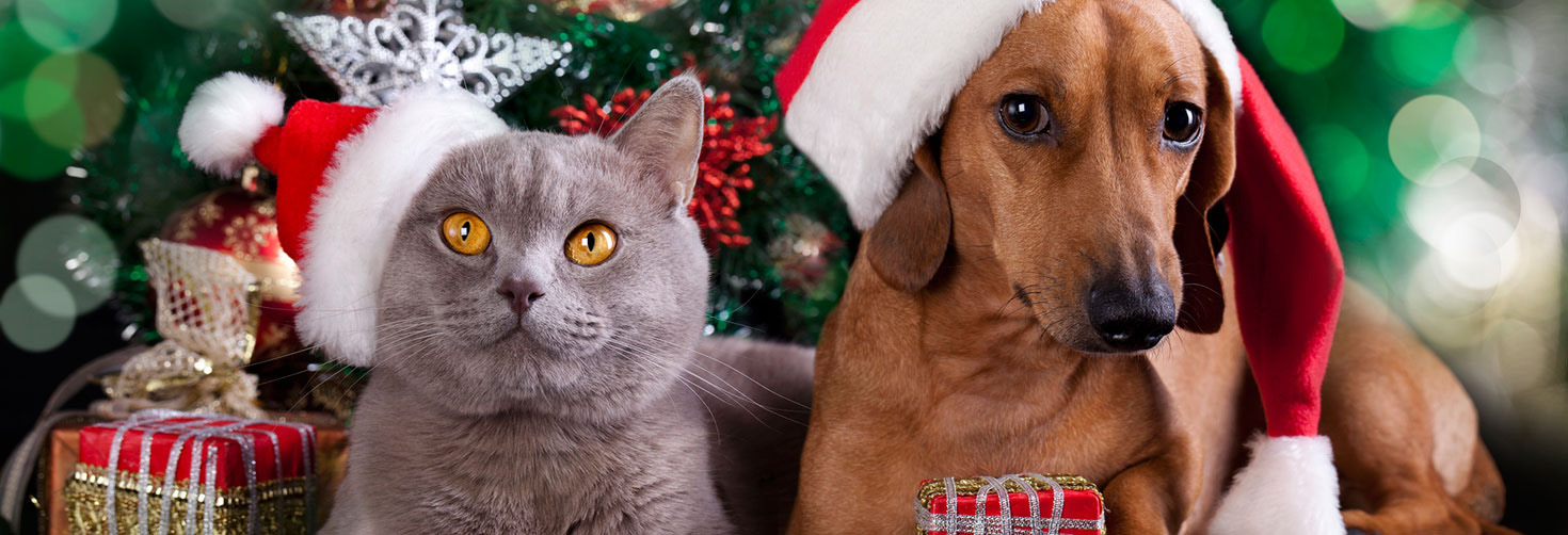 Grey cat with yellow hat and Dachshund wearing Santa hats sit in front of Christmas presents