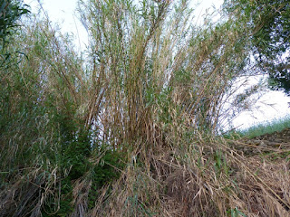 Canne de Provence - Arundo donax - Roseau à quenouilles
