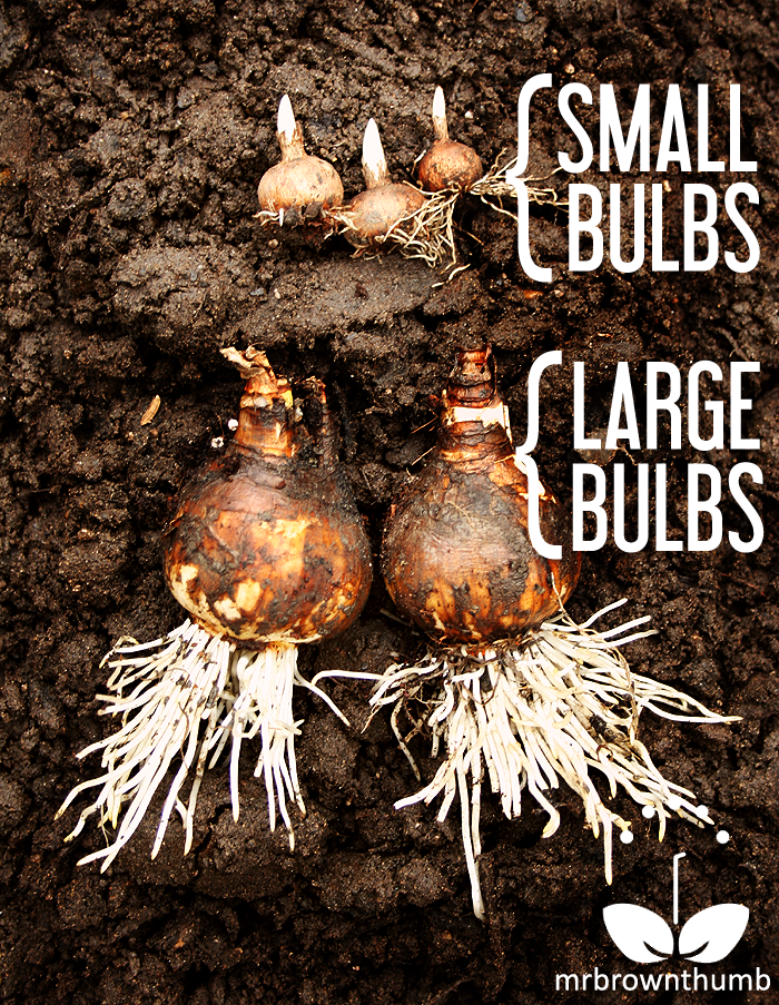 How to Plant Spring-Blooming bulbs