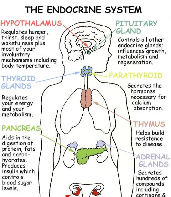 Medwallet Drnpreets Blog Ductless Gland Endocrine Gland