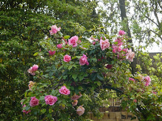 Szurke rozsa • Hetedik