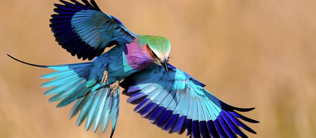 美しい鳥ライラックニシブッポウソウ