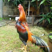 Begini Cara Melihat Ayam Bangkok yang siap Diadu