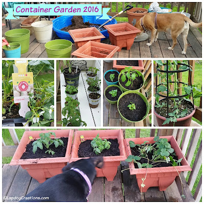 Our 2016 Container Garden is off to a good start with some basics. The Lapdogs were great helpers... #rescuedog #adoptdontshop #containergarden #LapdogCreations ©LapdogCreations