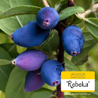 Owoce jagody kamczackiej odmiany Rebeka