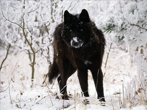 The rarest animals the Black Wolf