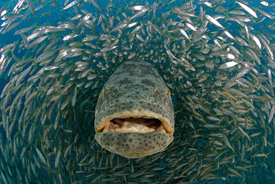 Goliath Grouper - SNSH