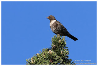 https://bioclicetphotos.blogspot.com/search/label/Merle%20%C3%A0%20plastron%20-%20Turdus%20torquatus