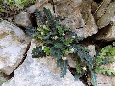 Απρίλιος: Βότανα και φαρμακευτικά φυτά της Ελλάδας-Σκορπίδι-ασπλήνιο-σκορπιδόχορτο-Asplenium ceterah